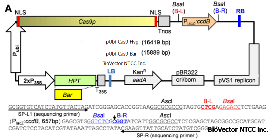 原核基因结构图