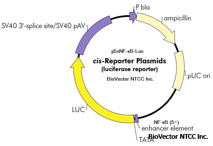 p5xnf-κb-luc信号通路报告载体荧光素酶基因报告质粒